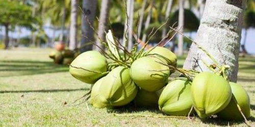 The efficacy and role of coconut